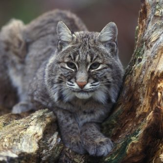animal-animal-photography-bobcat-209032