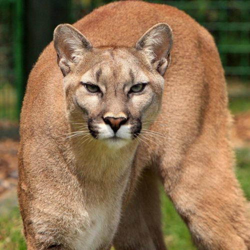 animal-close-up-cougar-53001